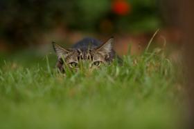 Tabby Prowl
