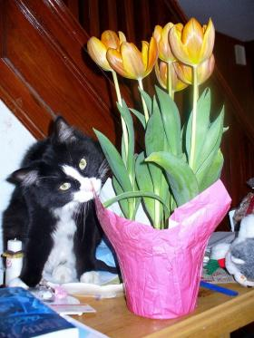 No, No, little kitty - stay away from those tulips!!