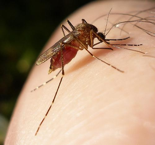 picture of mosquito on skin