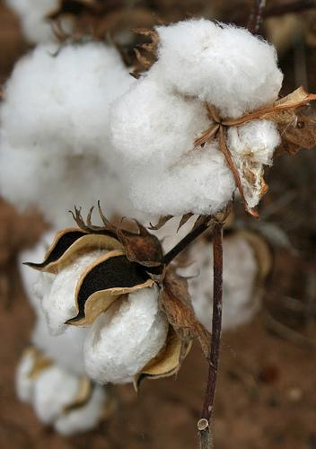 Agriculture experts predict a good year for norhtern Alabama's cotton crop.