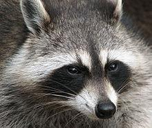 Wildlife officials say more than 20 rabies cases have been reported since January.