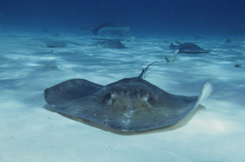 Beach officials posted purple flags on Alabama beaches after several beachgoers reported being stung by stingrays.
