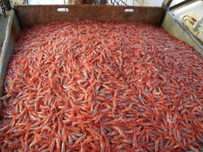 Shrimp shells contain chitin, which can be used to extract uranium from the ocean.