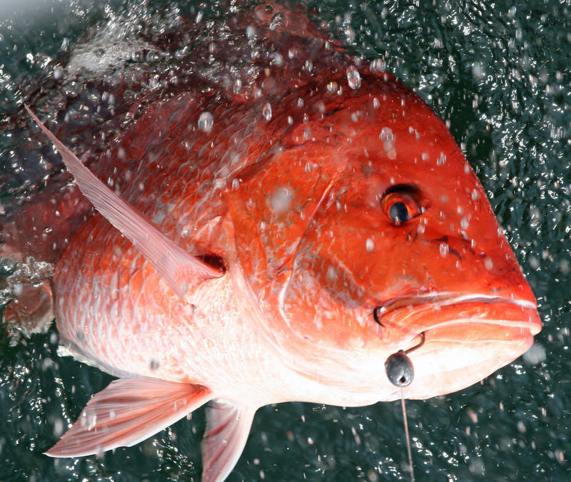 Alabama public radio for Red snapper fish