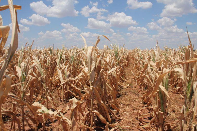 drought corn