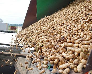 harvested peanuts