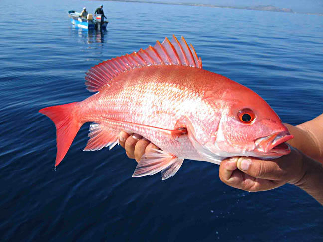Red snapper season reopens June 16