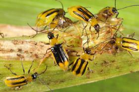 Western corn rootworm beetles munch on a corn stalk