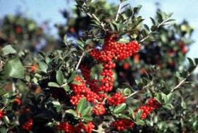 The yaupon holly, or Ilex vomitoria
