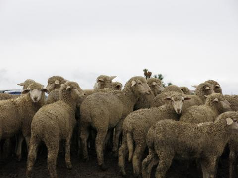 Once a staple part of the American diet, we're eating a lot less lamb. The U.S. sheep herd today is just one-tenth the size it was in the 1940's.