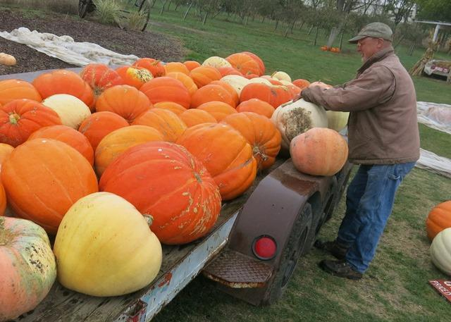 Ackerman's giant pumpkins get covered with plastic tarps to ward off frost