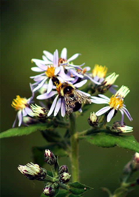 Bee and aster, Isle Royale National Park