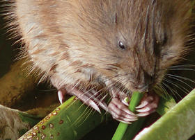 muskrat eating plants