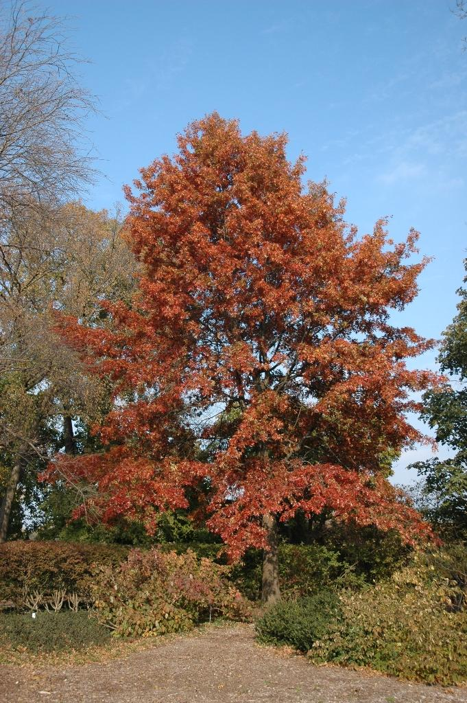Northern pin oak