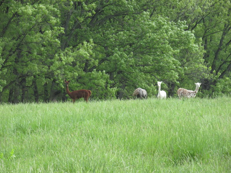 Lllamas & alpacas roam the land at Jubilee Farm