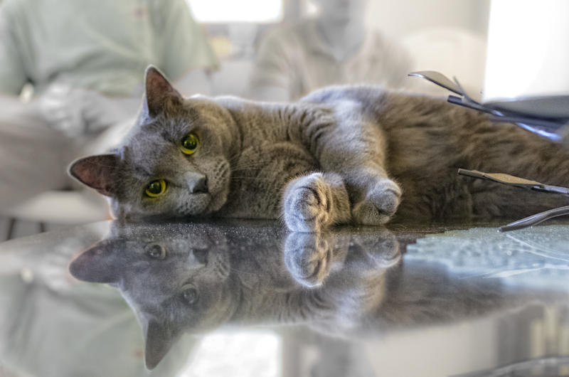 Cat stretches out on glass table