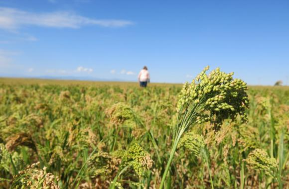 Millet, long an ingredient in bird feed, could be the next food to capitalize on the heritage grain trend.