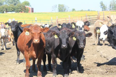 These cattle on Jeff Longnecker's farm in Story County, Iowa, are part of a herd he's hoping to grow.