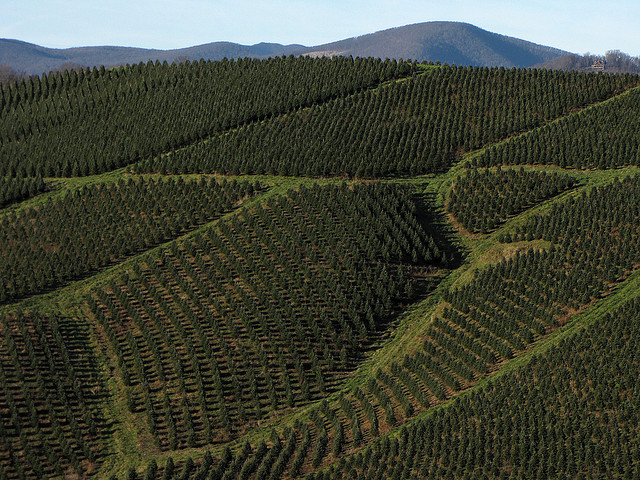 great harvest for nc christmas tree farmers wunc - Christmas Tree Farms In North Carolina