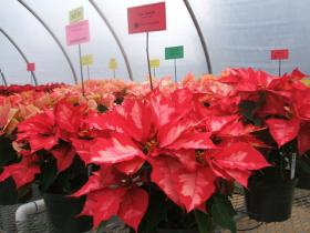 'Ice Punch' Poinsettia grown at NC State's Horticulture Field Lab. 