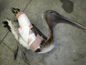 Injured pelican