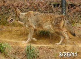 Red Wolf, animal,
