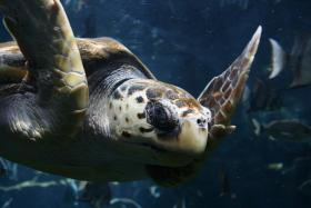 Loggerhead sea turtle