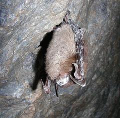 Little Brown Bat with white-nose syndrome in Greeley Mine, VT, March 2009.