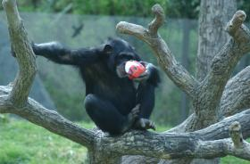 A chimpanzee eats treats from inside a papier-mâché egg at the North Carolina Zoo.