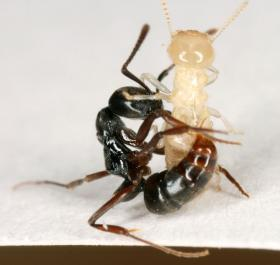 An Asian Needle Ant (left) stings a termite.
