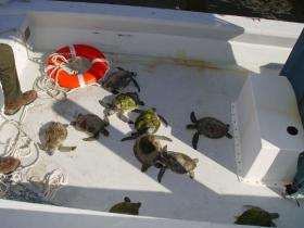 Several live cold-stunned green turtles from Cape Lookout Bight