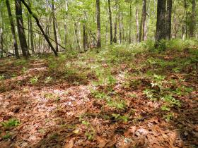Wild blueberries grow in the woods on Ed Harris' farm in Lee County.