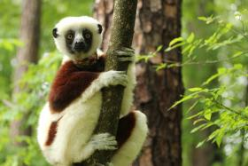 A Coquerel's Sifaka lemur at the Duke Lemur Center.