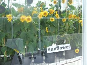 Syngenta Greenhouse Sunflowers