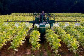 A tobacco farmer in Rockingham County, NC.
