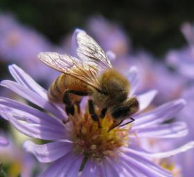 The honey bee is responsible for pollinating many North Carolina crops.