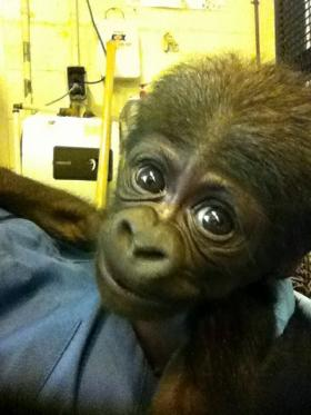 This male baby gorilla was delivered by C-Section at N.C. Zoo Sunday Acacia. A name has not yet been chosen.