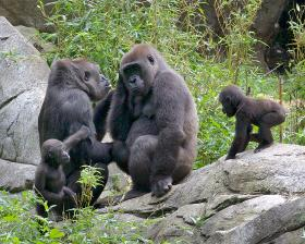 "Baby gorillas ""Bomassa"" and ""Apollo"" with moms ""Jamani"" (second from left) and ""Olympia"" will both get a first-birthday party at the N.C. Zoo on August 3."