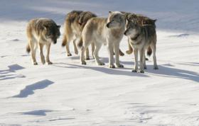Photo: Wolves on Isle Royale