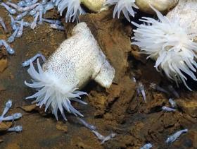 Photo: Anemones and shrimp at a hot water vent