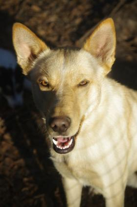 Bishop, a ginger-colored Carolina dog belonging to I. Lehr Brisbin.