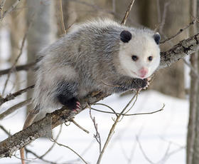 The Virginia opossum, Didelphis virginiana