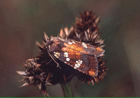 The rattlesnake-master borer moth has been listed as a candidate for the Endangered Species List. It's found in Pender County, NC.