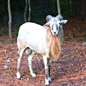 Bubba the ram has been spotted several times in Durham in the past week. He's still on the run.