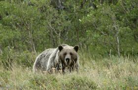 Photo: A grizzly at Glacier National Park near St. Mary Lake, Mont.