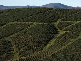 Photo: A tree farm in Rutherwood, N.C.