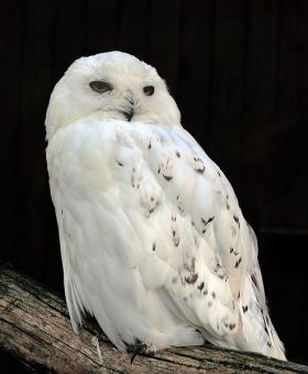 Male Snowy Owl in the Adlerwarte Berlebeck in Berlebeck, Detmold, Germany