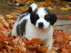 A St. Bernard puppy frolics in the leaves