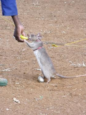 APOPO HeroRAT tea egg training  Dammies trainee HeroRAT swaps a tea egg containing a sample of TNT he has just found for a banana treat