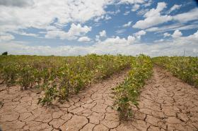 A dry field of crops